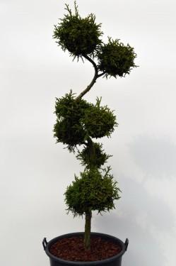 Kryptomerie, zdroj: okrasne-stromy.cz