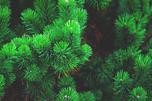 okrasné stromy